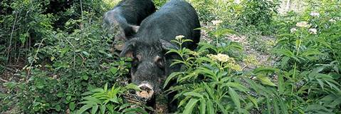 Mora Romagnola Pig - Presì Slow Food