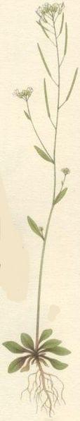 Datei:Arabidopsis thaliana backtrav.jpg
