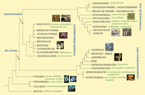 Animal tree of life graphic