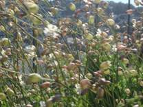 Stridolo in bloom
