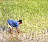 https://upload.wikimedia.org/wikipedia/commons/b/bd/Rice_Field.jpg